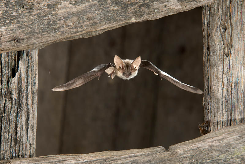 Grey big-eared bat, Paul van Hoof (NL)